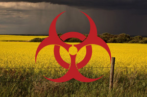 canola_contamination3