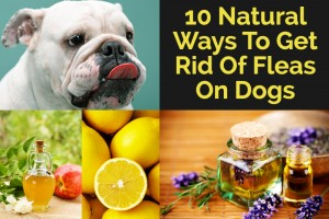 22-10-Natural-Ways-To-Get-Rid-Of-Fleas-On-Dogs